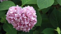 Bumblebee from pink sphere decorative viburnum flower Stock Footage