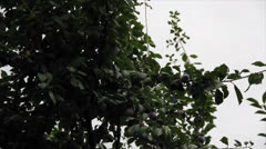 Plum-tree branch with plum fruits under rain Stock Footage