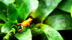 Strawberry poison dart frog Stock Footage