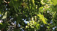Green growing vine grapes Stock Footage