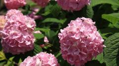 Decorative viburnum flowers close view Stock Footage