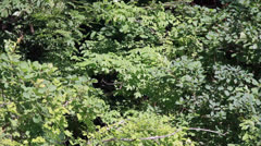 The dense foliage of the trees in the forest - stock footage