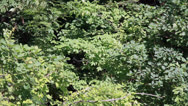 Stock Video Footage of The dense foliage of the trees in the forest