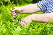 Stock Photo of Hands with gardener shears near thuja in summer