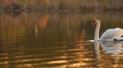 White mute swan swimming in the evening Stock Footage