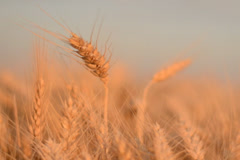 Wheat field ready for harvest - stock footage