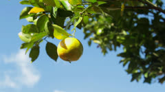 Tree with juicy fruit. Stock Footage