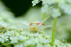 Goldenrod crab spider Stock Photos