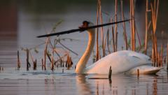 Mute swan takes a large stick, searching for materials to build nest Stock Footage