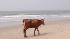 Cow in indian beach Stock Footage