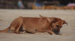 Dog on beach. India Stock Footage