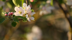 Apple blossoms close-up with space for text Stock Footage