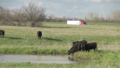 Kansas Flint Hills cattle s Stock Footage