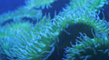 Sea Anemone Moves In Ocean Currents Footage