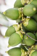 Betel nut or are-ca nut palm on tree Stock Photos