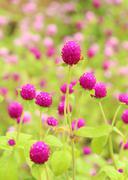 globe amaranth or gomphrena globosa flower - stock photo