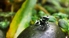 green and black poison dart frog - stock footage