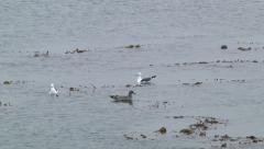Seagulls Sea Lion Float Swim Kelp Bed Ocean Nature Water Sea Weed - stock footage