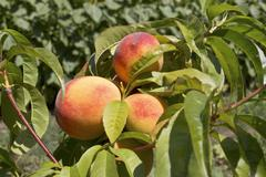 Stock Photo of ripe peach fruits growing on a peach tree branch.