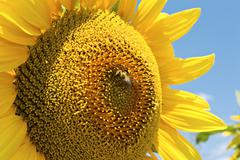 Stock Photo of sunflower with bee.