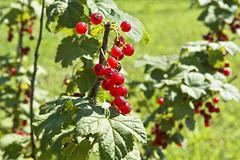 tasty red currants - stock photo