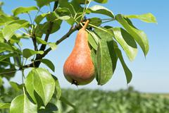 tasty young pear - stock photo