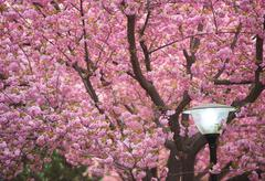 Flowering Cherry and a streetlamp Stock Photos