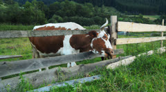 Cows graze in the mountains Carpathians - stock footage
