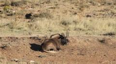 Black wildebeest Stock Footage
