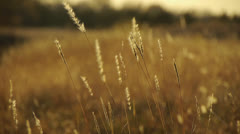 Golden Field of Wheat Stock Footage
