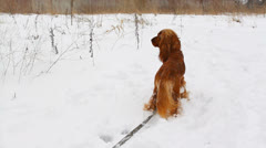 English Cocker Spaniel in nature in winter Stock Footage