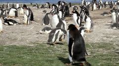 Gentoo Penguin Colony Stock Footage