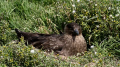 Skua sitting in his nest Stock Footage