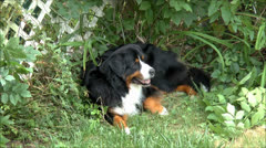 Bernese Mountain dog rests Stock Footage