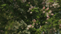 Flowering Pink Blossom in Spring - 29,97FPS NTSC Stock Footage