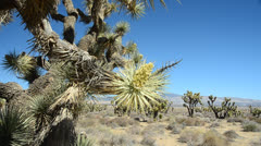 Joshua tree In Mohave Desert - stock footage