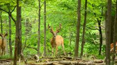 Whitetail Deer Bucks - stock footage