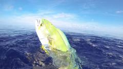 Dolphin Fish Stock Footage