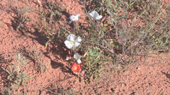 Arizona flower and red dirt Stock Footage