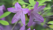 Stock Video Footage of Lavender azalea flowers ct
