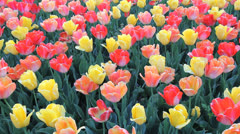 Many colored tulips c Stock Footage