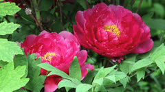 Deep pink garden peonies  ct. Stock Footage
