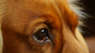 Stock Video Footage of Close-up of a dog looking, English Cocker Spaniel