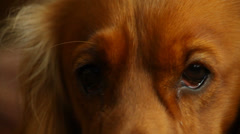 Potrait of a beautiful English Cocker Spaniel at home Stock Footage
