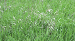Kansas native grass s Stock Footage