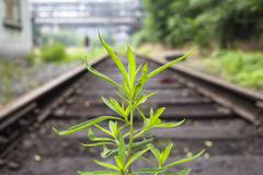 the longly grass in the middle of railway - stock photo