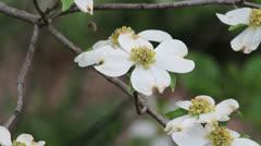Dogwood flower c Stock Footage