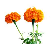 flower saffron on white background - stock photo