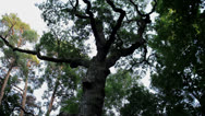 Stock Video Footage of Oak Tree