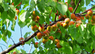 Stock Video Footage of Ripe apricots on the branch
